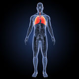Human Lungs with circulatory system anterior view Royalty Free Stock Photo