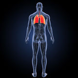 Human Lungs with circulatory system posterior view Stock Photo