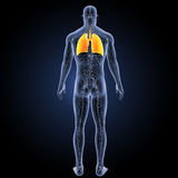 Human Lungs with circulatory system posterior view Stock Photography
