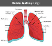 Human Lungs detailed anatomy. Vector Medical. Illustration Royalty Free Stock Photo