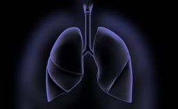 Human lungs Stock Photos