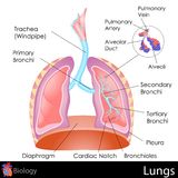 Human Lungs. Easy to edit  illustration of Human Lungs diagram Stock Photo