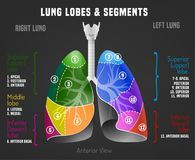 Human lungs infographic. With lung lobes and segments. Vector illustration isolated on a dark grey background. Medical, educational and healthcare concept stock illustration