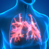 Human Lungs Inside Anatomy (Bronchioles) Royalty Free Stock Image