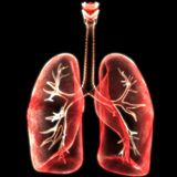 Human Lungs Inside Anatomy Stock Image