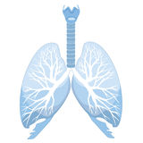 Human lungs isolated over white background. Human lungs and bronchi Stock Photo