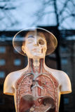 Human Lungs Mannequin Beside Clear Glass Window Royalty Free Stock Photos