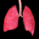 Human Lungs Royalty Free Stock Image