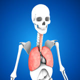 Human Lungs. The human lungs are the organs of respiration. Humans have two lungs, a right lung and a left lung. The right lung consists of three lobes while the stock illustration