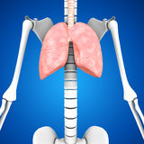 Human Lungs Royalty Free Stock Photography