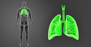 Human Lungs zoom with Organs Posterior view stock illustration