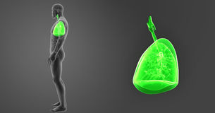 Human Lungs zoom with Organs Lateral view royalty free illustration