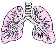 Human Lungs with Pink color, Line drawing. A line drawing of human lungs with the lungs colored pink Royalty Free Stock Photos