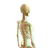 Human Lymphatic system with skeleton Stock Photography