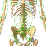 Human Lymphatic system with skeleton Royalty Free Stock Photo