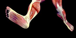 Human Male Body Anatomy Illustration of a human foot with visible muscles. Human Male Body Anatomy Illustration with visible muscles and tendons stock illustration