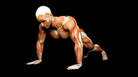 Human Male Body Anatomy Illustration of a human jogger with visible muscles