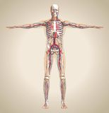 Human (male) circulation system, nervous system and lymphatic sy Stock Image