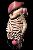 Human male digestive system and internal organs Royalty Free Stock Photos