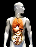 Human male illustration. With emphasis on the lungs , liver,heart,stomach and intestines.Female version also available. Part of a medical series Stock Images