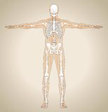 Human (male) lymphatic system Royalty Free Stock Images