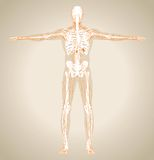 Human (male) lymphatic system Stock Photos