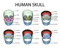 Human Male Skull Parts. Human male skull front view with named parts Royalty Free Stock Photo