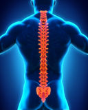 Human Male Spine Anatomy. Illustration. 3D render Stock Photography