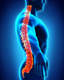 Human Male Spine Anatomy. Illustration. 3D render Stock Image