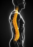 Human Male Spine Anatomy Stock Photo
