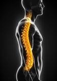 Human Male Spine Anatomy Stock Photo