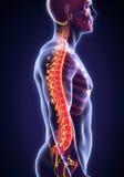 Human Male Spine Anatomy Stock Photography
