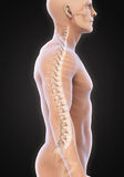 Human Male Spine Anatomy Stock Images