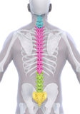 Human Male Spine Anatomy Stock Photography