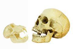 Human and monkey skull opposite of each other. Skull of a human and a monkey placed in front of each other and isolated on a white background Royalty Free Stock Images