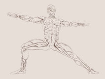 Human Muscle Anatomy vector illustration