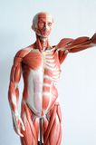 Human muscle Stock Photo