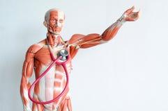 Human muscle. Anatomy of human muscle  model Stock Photo