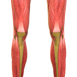 Human Muscle Body Anatomy (Legs) Royalty Free Stock Photo