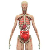 Human Muscle Body with Organs (Lungs, Liver, Large and Small Intestine) Stock Photos