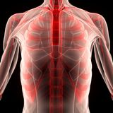 Human Muscle Body With Ribs Royalty Free Stock Photography