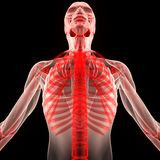 Human Muscle Body with Skeleton Stock Image