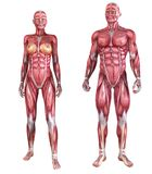 Human muscle system Stock Images