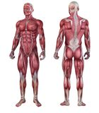 Human muscle system Royalty Free Stock Photo