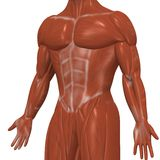 Human muscles Royalty Free Stock Images