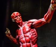 Human muscles anatomy model on black Royalty Free Stock Photo