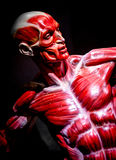 Human muscles anatomy model on black royalty free stock photography