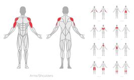 Human muscles anatomy model vector. Strong man vector illustration
