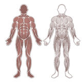 Human muscles silhouette Royalty Free Stock Image