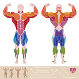 The human muscular system, anatomy, posterior and anterior view, stock illustration